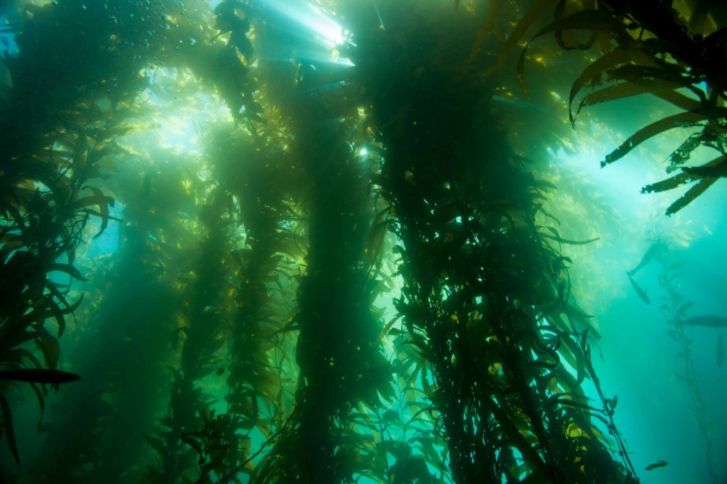 Kelp canopy - (c) Ocean Defenders Alliance