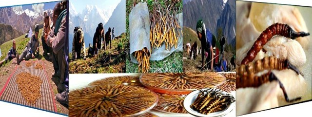Nepal Mission Yarsa-means-Cordyceps-from-Nepal-country HOME