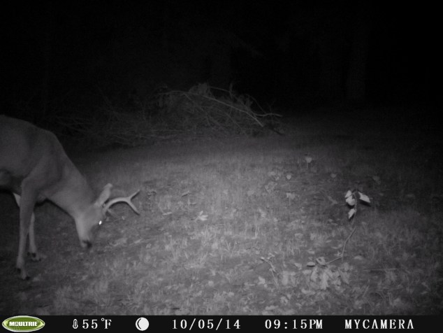 Blacktail buck on the the trail camera.