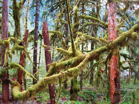 Thick NW Rainforest