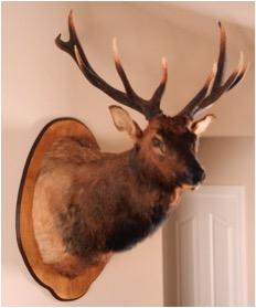 Elk mount