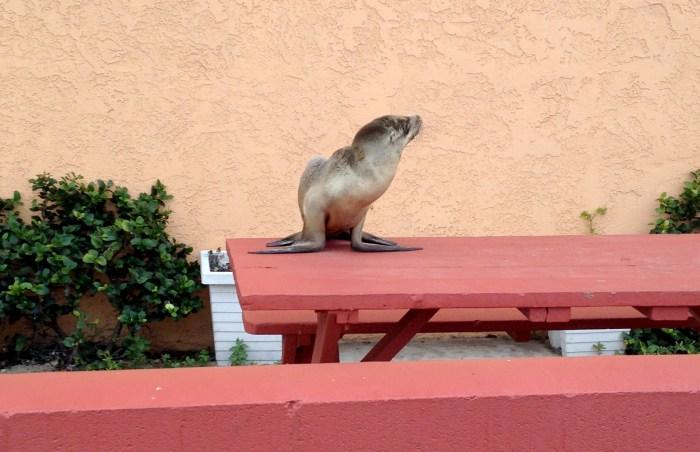 baby-seal-bayside