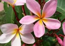 Plumeria Flowers in Mission Beach