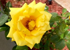 Yellow Rose in Mission Beach