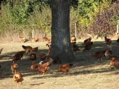 poulets ancenis arbres