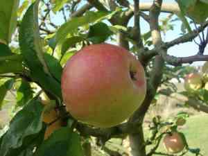 pomme grand mère