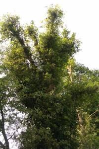 chêne ébranché repousse