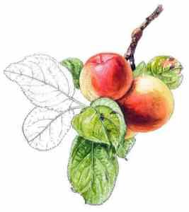 pépin cognard pomme anjou