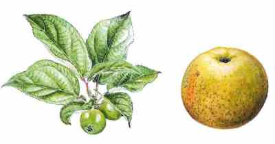 reinette du mans pomme anjou