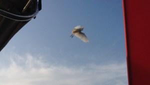11. A white long legged bird with a yellow:orange beak flew near Joyful.
