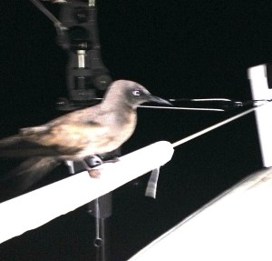 12. Jeff took this great photo while on his night watch. This is the third type of bird which rested on Joyful during this circumnavigation! You can see this bird's sharp beak and webbed feet as it rested on the Joyful's stern near the helmsman's seat.