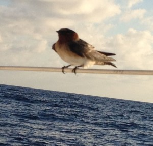 17. East of Nicaragua and Coasta Rica, this colorful and personable bird flew around and even inside of Joyful for several days as Joyful approached Panama.  He even spent the nights with us on Joyful.
