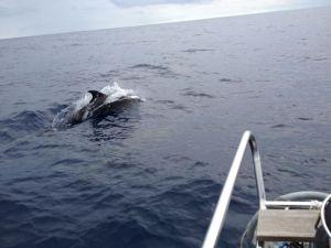 42. A magnificent dolphin jumped near Joyful's bow.