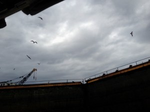 84. Birds soar above lock doors in the upper Miraflores lock.