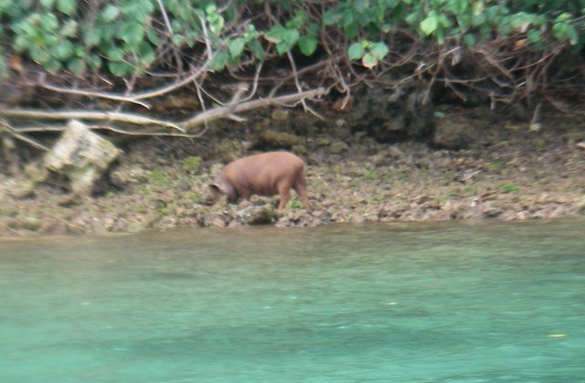70. Pigs and piglets rooted for clams on the shore next to Joyful every morning