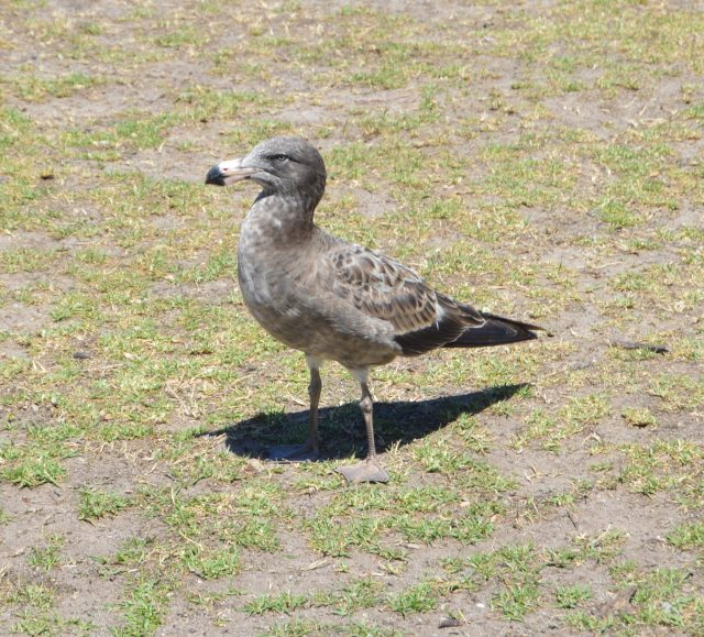 139. We saw this amazing small albatross standing on a lawn next to a beach on the Bass Strait, Victoria, Australia, December 2015. He hoped we would give him some food we were eatingJ