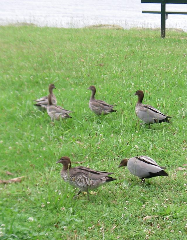 34. Bird - We saw these birds in a park by the water in Pittwater, Australia in January, 2016. Perhaps an Australian Wood Duck?.