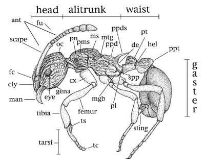 Structural Drawings of Ants