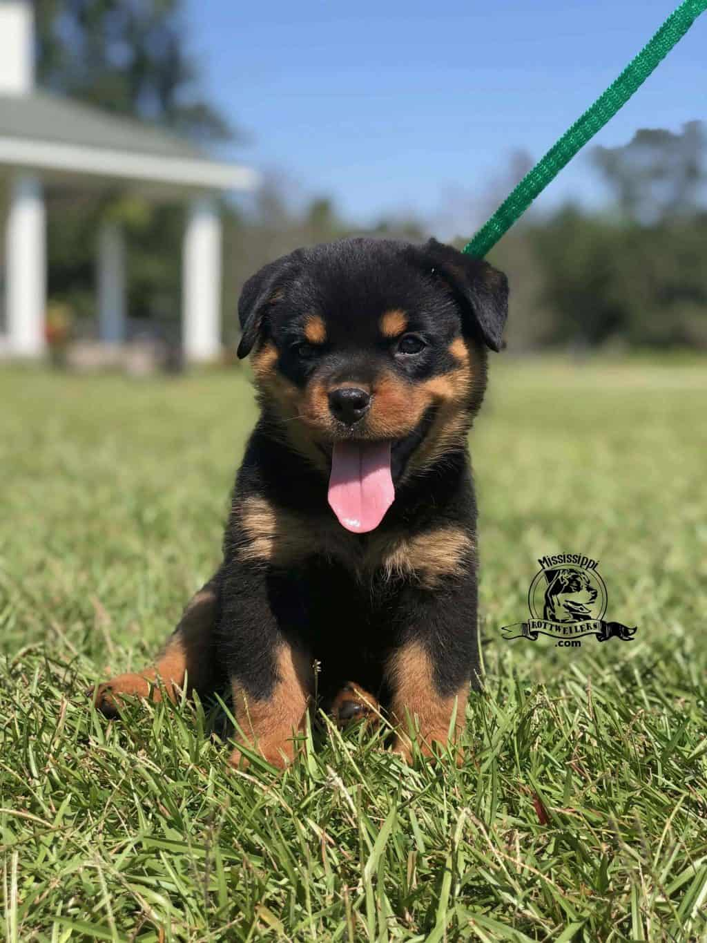 Rottweiler Puppies For Sale Near Me Under $500 Dollars : rottweiler, puppies, under, dollars, Miniature, Rottweilers, Mississippi
