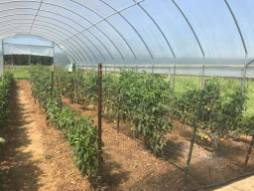 Tomato crops being grown on the school's farm.