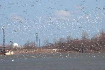 Gulls and Pelicans at the Missouri/Mississippi Rivers Confluence