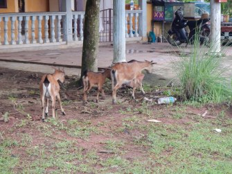 The more the merrier. Goat sighting in Kuantan