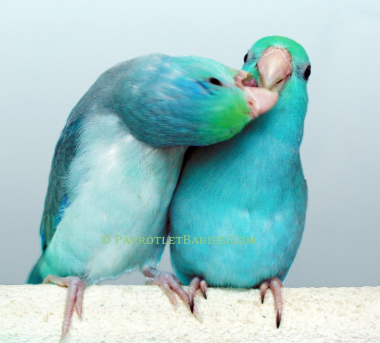 turquoise-pied-parrotlet1
