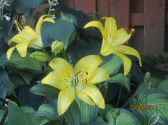 Trumpet Lily 3