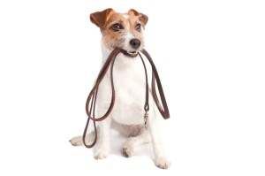 jack russell with a leash