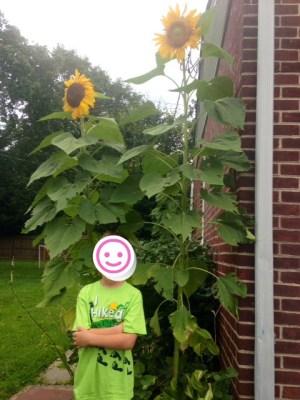 sunflower after