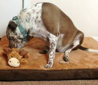 Armarkat Memory Foam Orthopedic Pet Bed and KONG Cozie Toy