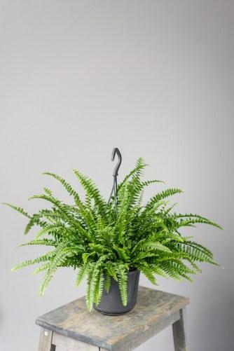 Boston Fern plant for absorbing indoor moisture