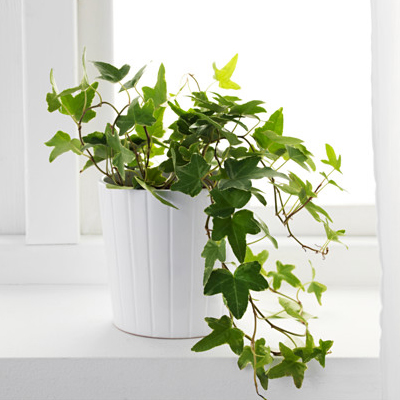English Ivy plant that absorb moisture from your bathroom
