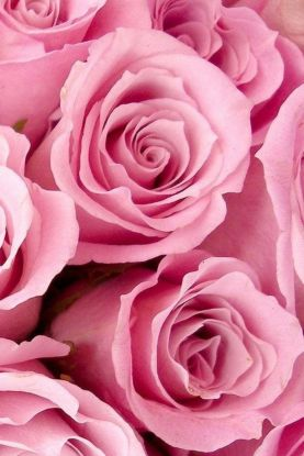 Pink rose iPhone wallpaper free to download