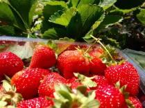 Strawberry picking at Coal River Farm...