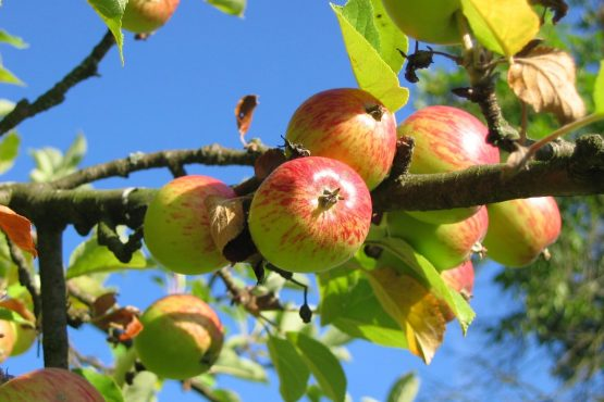 cropped-apple-tree-apples-colorful-54629.jpg