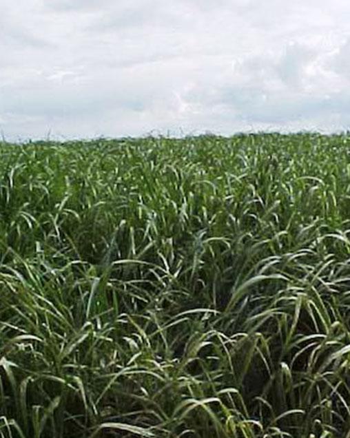 Bestfor Tetraploid Intermediate Ryegrass