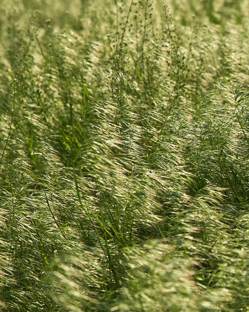 Smooth Bromegrass
