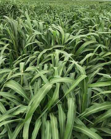 CowPro Hybrid Pearl Millet
