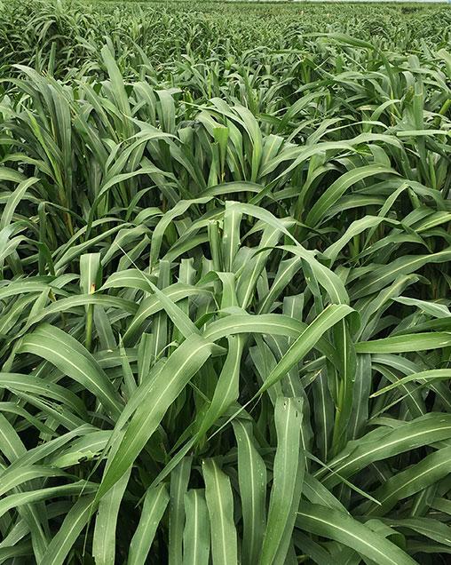 CowPro Hybrid Pearl Millet