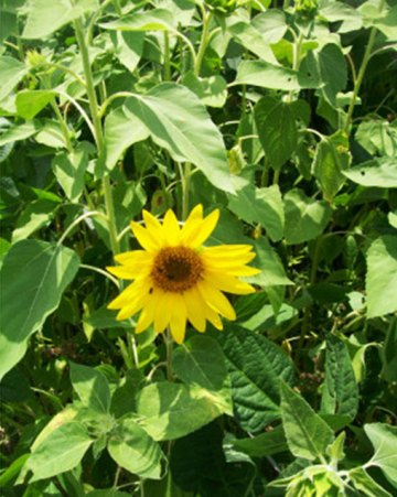 Peredovic Sunflower