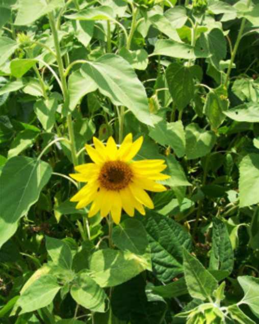 Peredovic Sunflower