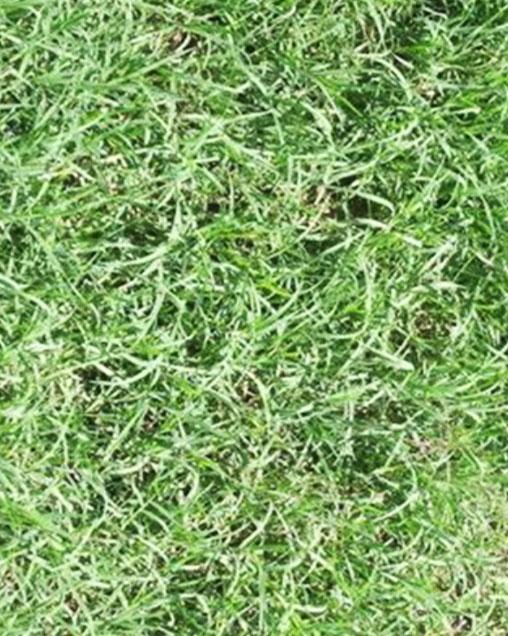 Wrangler Bermudagrass