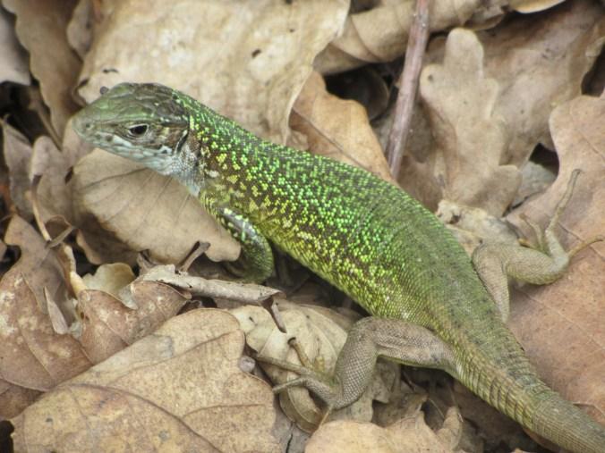 Green lizard and dry oak leaves