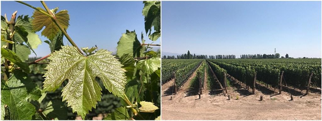 Mendoza Vineyard