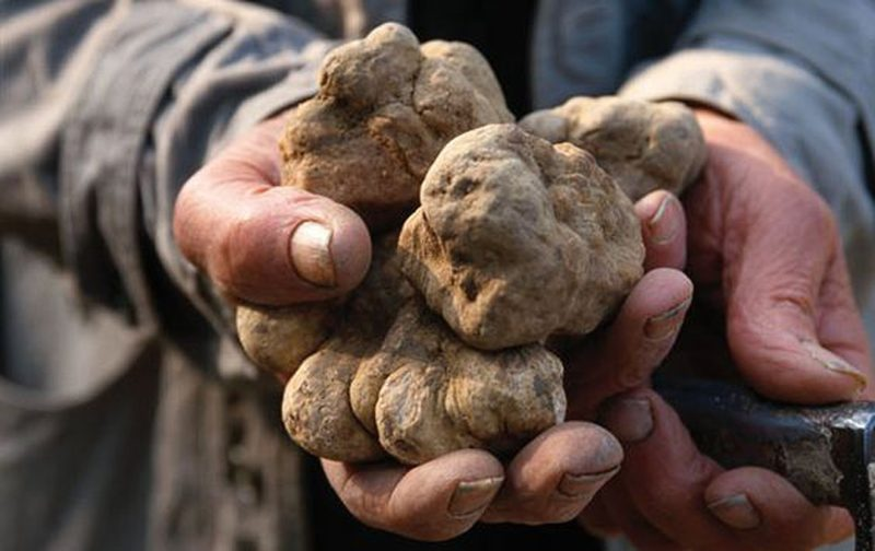 A handful of white diamond Alba truffles