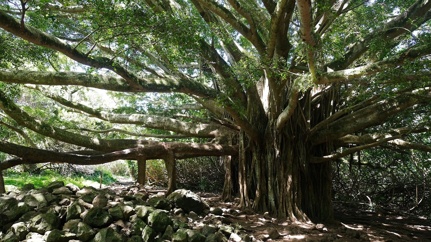 Banyan Tree The road to Hana maui - Road or destination? Guest Post by Lara Olivia Miss Portmanteau? Club Elsewhere - The World's Travel Diary edited by Rosie Bell