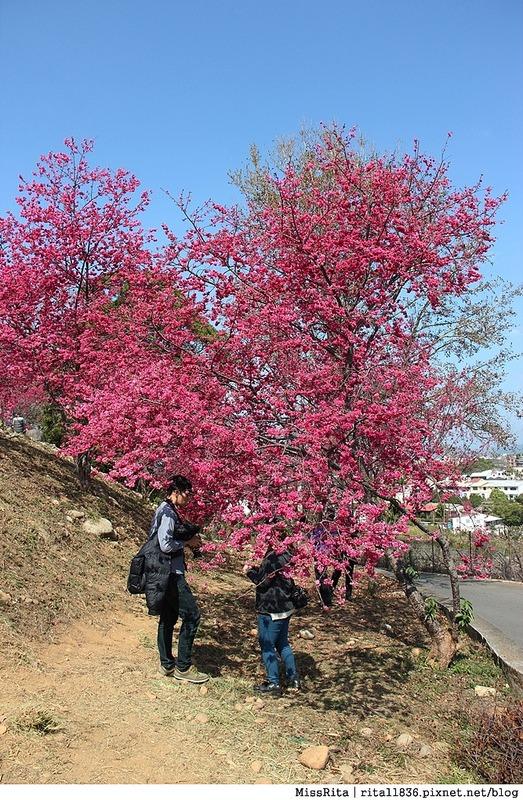 2015台中賞櫻 新社 大南坡 櫻花秘境 129縣道 櫻木花道55