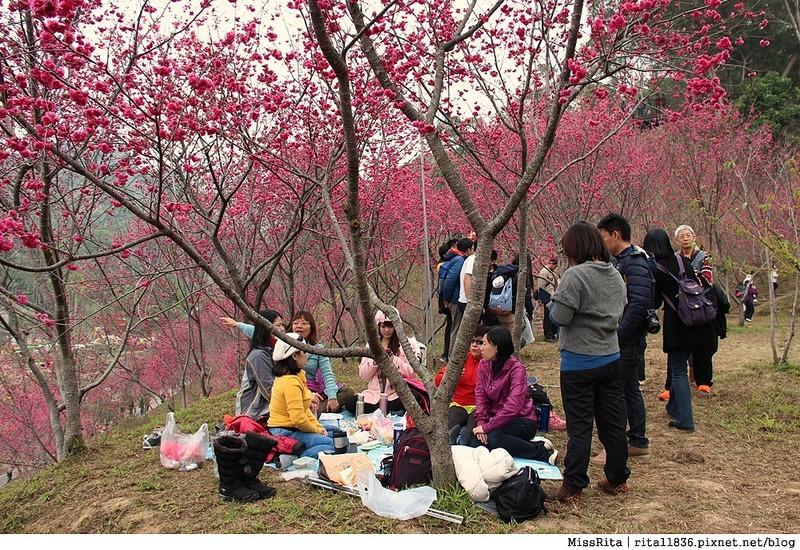 2015台中賞櫻 大坑 濁水巷櫻花林15