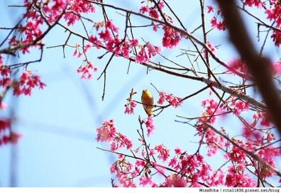 2015台中賞櫻 新社 大南坡 櫻花秘境 129縣道 櫻木花道43